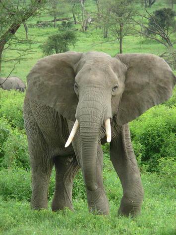 Elephant_near_ndutu.jpg