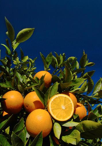 IFAS_citrus02.jpg