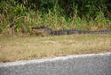 Roadside Gator in Florida.jpg