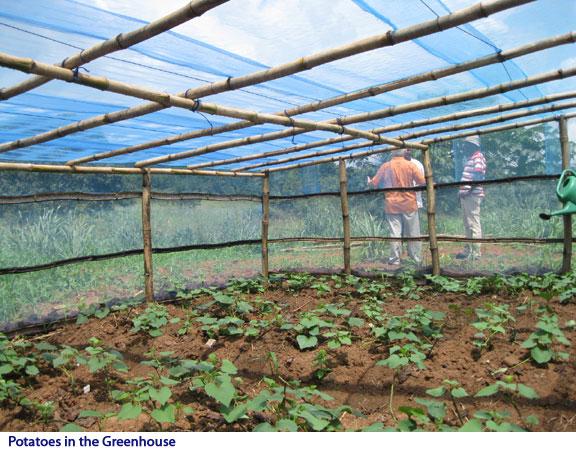 Выращивание зимой картофеля в теплице