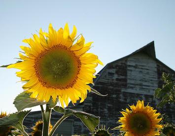 ND-sunflower.jpg