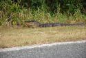 Roadside Gator in Florida.jpg
